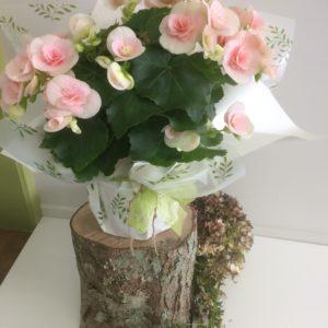 Bloomin Begonias